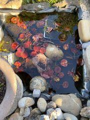 Seerosen Pflanzen - Direkt ausm Teich