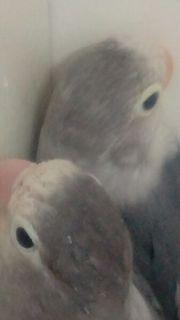 Zuchtpaar Pfirsichköpfchen