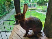 Reinrassig Hasenkaninchen Häsin Rammler abzugeben