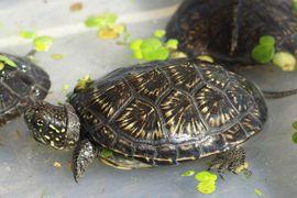 Bild 4 - Europäische Sumpfschildkröte - Emys orbicularis - Teichschildkröte - - Ibbenbüren Laggenbeck