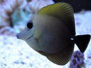 Meerwasser Doktorfisch Zebrasoma Scopas 8cm