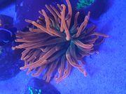 Meerwasser Korallen Ableger Anemone Sunburst