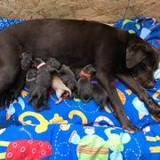 Wurfankündigung Labrador Welpen Braun Choco