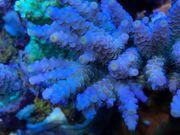 verschiedene Korallen Ableger Meerwasser SPS