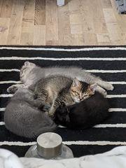 Liebevolle BKH-Scottish Kitten warten auf