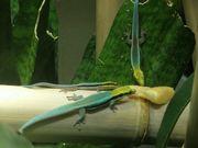 Phelsuma klemmeri eigene Nachzuchten Taggecko