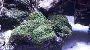 Rhodactis sp Scheibenanemone
