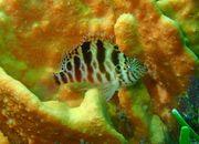 Meerwasser Korallenwächter 4-5cm