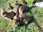 Junge Kaninchen abzugeben