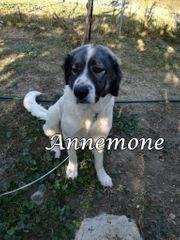 Annemone sucht Menschen mit Herdenschutzhund-Erfahrung