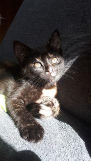 BKH-MIX Kitten zur Abgabe breit