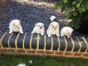 Pomeranian Welpen bereit zu verabschieden