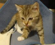 Verschmuste BKH Mix Katzenbabys spotted