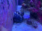 Meerwasser Schnecke XL
