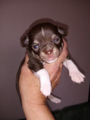 Chihuahua Welpe - Hündin Schoko and