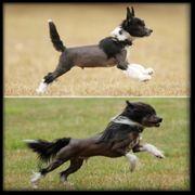 Chinese Crested chinesischer Schopfhund Deckrüde