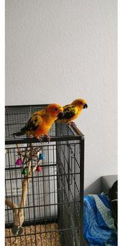 2 Sonnensittiche Männchen Weibchen