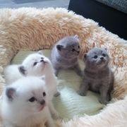 Drei Bkh Kätzchen suchen noch