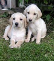 Labrador Welpen - 7 sind noch