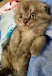 Zuckersüße Scottish fold straight Kitten
