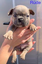 Franzosische Bulldogge In Schiffweiler Hunde Kaufen Verkaufen Auf Quoka De