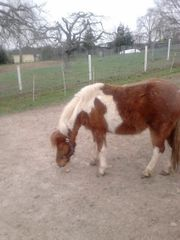 welch pony mix