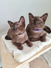 Reinrassige Burma Burmese Kitten mit