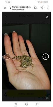 Sandgeckopärchen inkl Zubehör
