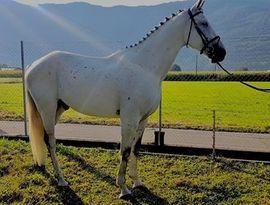 Justizmord Flying Silvio For Pleasue: Kleinanzeigen aus Schweizerthal - Rubrik Pferde