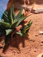 0 4 0 Kaktus- Bynoe