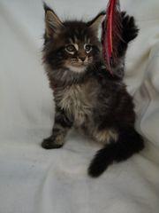 Maine Coon Kater Kitten