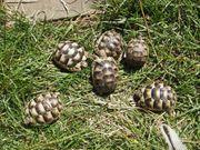 Landschildkröten testudo Marginata Breitrandschildkröten Nachzuchten