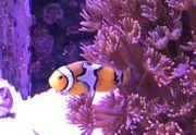 percula clownfish snowflake