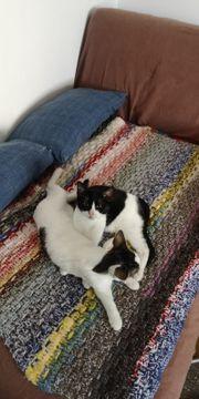 Zwei Katzen zusammen zu vermitteln