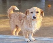 Hundemädchen Goldi Terrier Mischling