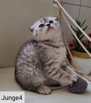 Scotish Fold reinrassiger Kitten - 3