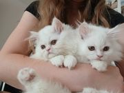 Perser Katzen