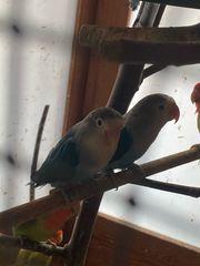 Rosenköpfchen Paar Agaporniden klein Papagei