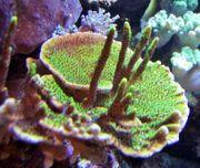 Korallenableger - Meerwaaser- Montipora confusa