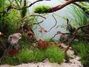 Aquarium Fische Blutsalmler 12 Stück