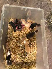 Mäuse in allen Größen abzugeben