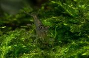 Sulawesisgarnele
