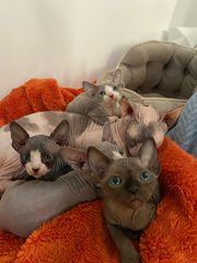 Canadiens Sphinx kitten