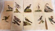 1800 handkoloriert Kupferstich 10 Vogel