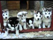 12 Wochen Siberian Husky Welpen