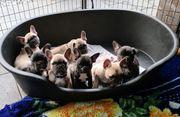 Französische Bulldogge Welpen ABHOLBEREIT