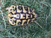 Griechische Landschildkröte Thb