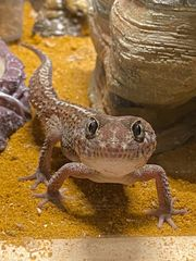 Madagaskar Großkopfgecko männlich