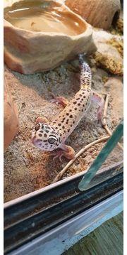 4 Leopardgeckos 1 3