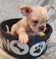 Französische Bulldogge mit Ahnentafel sucht